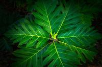 Close up of Breadfruit leaves. Kauai, Hawaii
