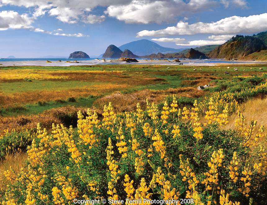 Yellow lupine with Humbug Mountain in distance in Curry County near Ophir, Oregon