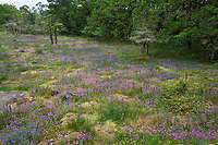 Flowering wildflower meadow - Camassia Nature Preserve, The Nature Conservancy protected park, Portland Oregon