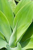 Australia. Vibrant green leaves of a plant forming a graphical pattern.