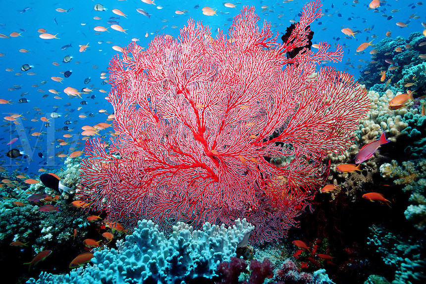 Sea fan (family Plexauridae), Fiji, Indo-Pacific