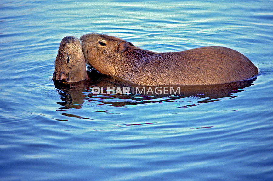 Animais Capivaras (Hydrochoerus hydrochaeris) na Estacao Ecologica do Taim. RS. Foto de Luiz Achutti.