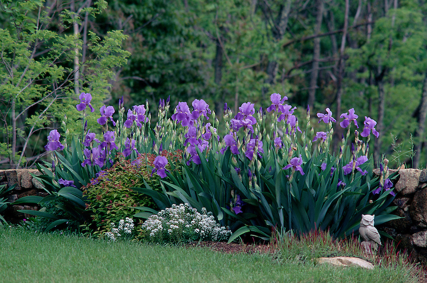 Garden with purple iris, stone wall. #6019. Virginia.