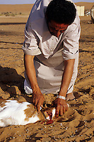 Wahiba Sands, Oman, Arabian Peninsula, Middle East - Sacrificing a lamb for Eid al-Adha.  Like all Muslims who can afford to do so, this Omani will sacrifice a goat to celebrate the Eid al-Adha (Feast of the Sacrifice), the annual feast through which Muslims commemorate God's mercy in allowing Abraham to sacrifice a ram instead of his son, to prove his faith.  This Omani bedouin lives in the Wahiba Sands.