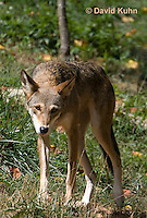 0822-1005  Critically Endangered Red Wolf, Canis rufus (syn. Canis niger)  © David Kuhn/Dwight Kuhn Photography