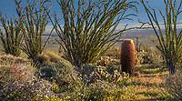Ocotillo (Fouquieria splendens in desert landscpe, California native plant Anza Borrego State Park