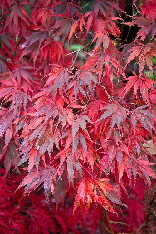 Aututmn foliage of Acer palmatum 'Burgundy Lace', early November.