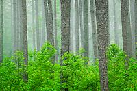 Uppland pine forest, Pee Dee National Wildlife Refuge