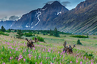 Bull moose with velvet on antlers graze-eat on fireweed and other plants in Chugach State Park, Chugach Mountains near Anchorage, Alaska.  Summer wildlife <br /> <br /> Photo by Jeff Schultz/  (C) 2019  ALL RIGHTS RESERVED
