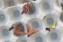Elephant Hawkmoths (Deilephila elpenor) attracted to a moth light trap. Devon, UK. June.