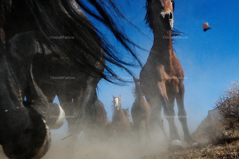 Mustangs thunder into a trap while gathered in the Nevada desert.