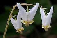 Eastern US Woodland Wildflowers