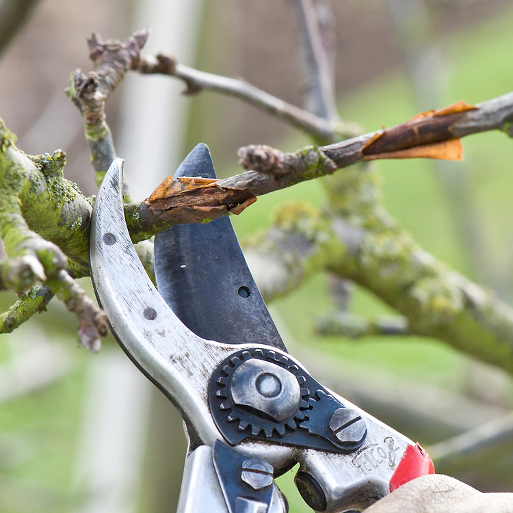 In winter, cut out any shoots or branches of apple and pear trees that show signs of canker or other disease.
