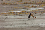 A pair of wolves playing in a sandy riverbed in Denali National Park, Alaska.