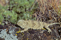 Pygmy Short-horned Lizard (Phrynosoma douglasii).  Found in grasslands-sage in Pacific Northwest (this one is from eastern WA).
