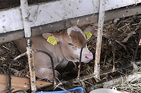 - breeding of bovines in Piacenza province....- allevamento di bovini in provincia di Piacenza