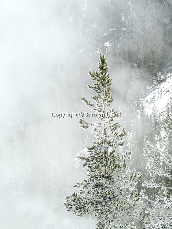 Snow creates a winter wonderland in Yellowstone.