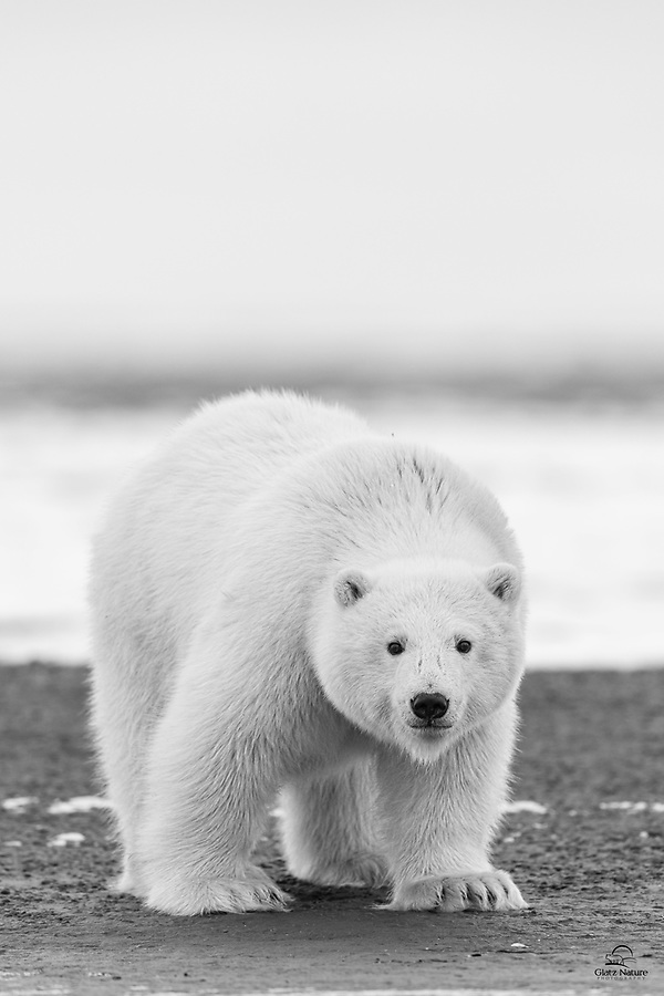 Her mother and brother had moved on with barely a passing glance at the boat full of humans off the shore. This wild female Polar Bear (Ursus maritimus) cub usually ignored us. Here she took an interest, getting low and sniffing our scent while watching us intently. Apparently satisfied (or bored) with us after a few moments, she moved on. A brief but invigorating encounter for us anyway.