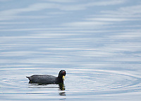 Andean Coot, Fulica ardesiaca, swimming on San Pablo Lake, Ecuador