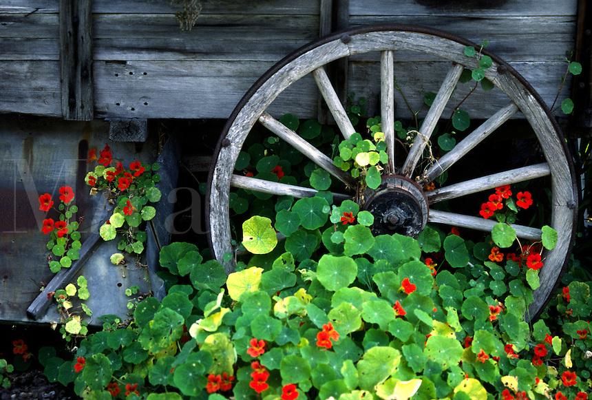 Wagon wheel & NASTURTIUMS (genus Tropaeolum) in bloom - PACIFIC GROVE, CALIFORNIA