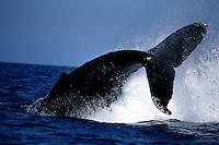 "A humpback whale, Megaptera novaeangliae, performing a maneuver known as a ""peduncle slap"". Hawaii."