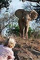 Nick Mackman watching an adult bull African Elephant (Loxodonta africana) on a walking safari. South Luangwa National Park, Zambia.