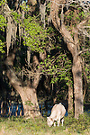 Brazoria County, Damon, Texas; a white cow grazing for food under a large live oak tree with spanish moss in early morning sunlight