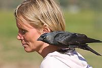 Dohle, zutrauliches Tier auf der Schulter einer Frau, Corvus monedula, Jackdaw, Choucas des tours