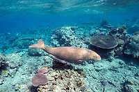 dugong or sea cow, Dugong dugon, swimming over coral reef, Indo-Pacific Ocean