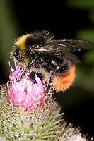 Steinhummel, Stein-Hummel, Bombus lapidarius, Pyrobombus lapidarius, Aombus lapidarius, Männchen beim Blütenbesuch auf Klette, Nektarsuche, Bestäubung, red-tailed bumble bee