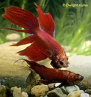BY01-019z   Siamese Fighting Fish - male chasing and biting another male - Betta splendens