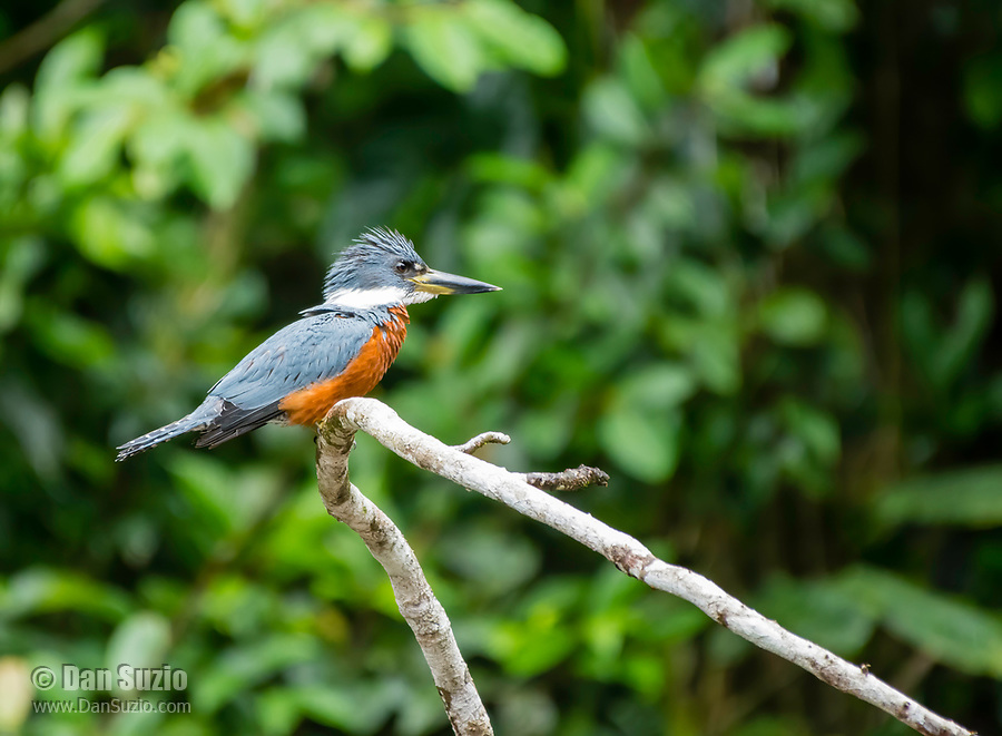 Male Ringed Kingfisher, Megaceryle torquata, perched on a branch beside the Tortuguero River (Rio Tortuguero) in Tortuguero National Park, Costa Rica
