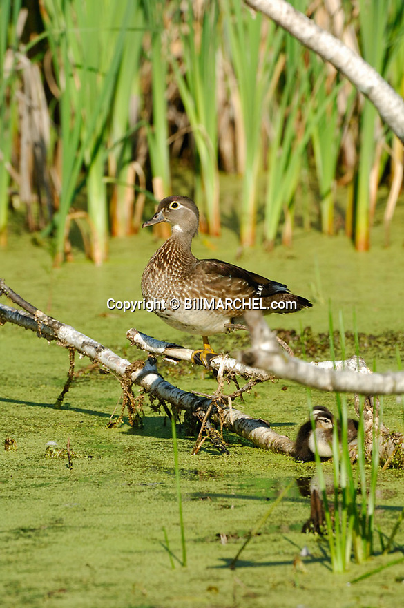 00360-088.07 Wood Duck (DIGITAL) hen on a log with two ducklings beneath her on a marsh containing cattails and duck weed.  V2L1