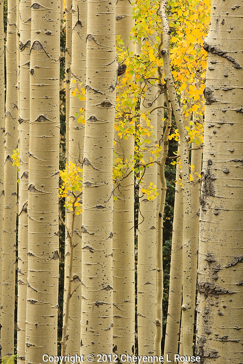 Golden Aspens - Arizona<br />