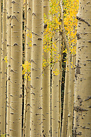 Golden Aspens - Arizona<br /> © 2012 Cheyenne L Rouse/All rights reserved