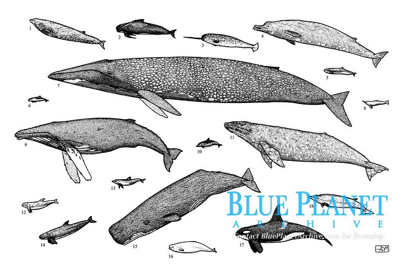 1 Cuvier's beaked whale, Ziphius cavirostris; 2 Long-finned pilot whale, Globicephala melas; 3 Narwhal, Monodon monoceros; 4 Baird's beaked whale, Berardius bairdii; 5 Pygmy sperm whale, Kogia breviceps; 6 harbour porpoise, Phocoena phocoena; 7 Blue whale, Balaenoptera musculus; 8 Boutu, Inia geoffrensis; 9 Humpback whale, Megaptera novaeangliae; 10 short-beaked common dolphin, Delphinus delphis; 11 Gray whale, Eschrichtius robustus; 12 Risso's dolphin, Grampus griseus; 13 Bottlenose dolphin, Tursiops truncatus; 14 False killer whale, Pseudorca crassidens; 15 Sperm whale, Physeter macrocephalus; 16 Beluga, Delphinapterus leucas; 17 Killer whale, Orcinus orca; 18 Gray's beaked whale, Mesoplodon grayi, pen and ink illustration.