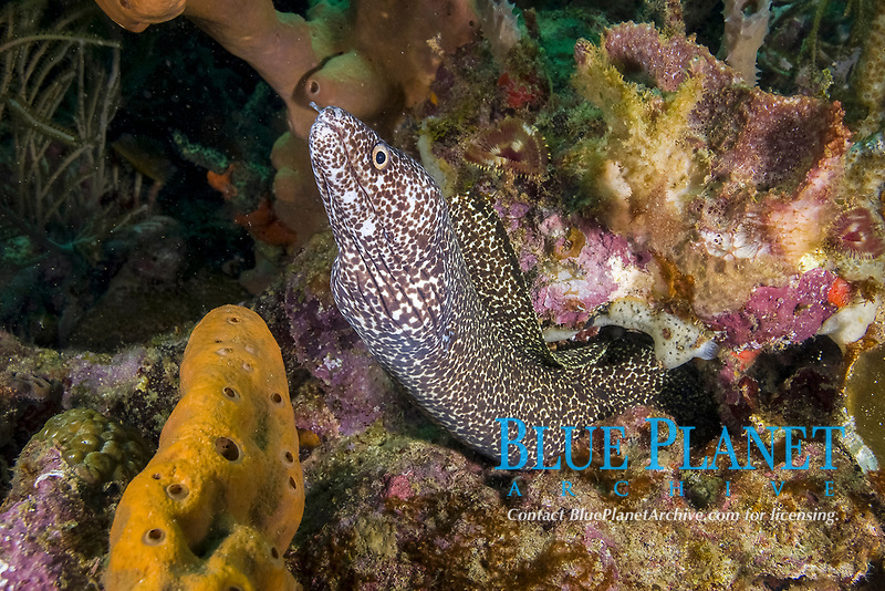 Spotted Moray eel, Gymnothorax moringa, St. Vincent, Caribbean, Atlantic