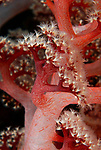Red Dendronephtyha, soft coral