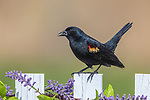 Male red-winged blackbird perched on a backyard fence in northern Wisconsin.