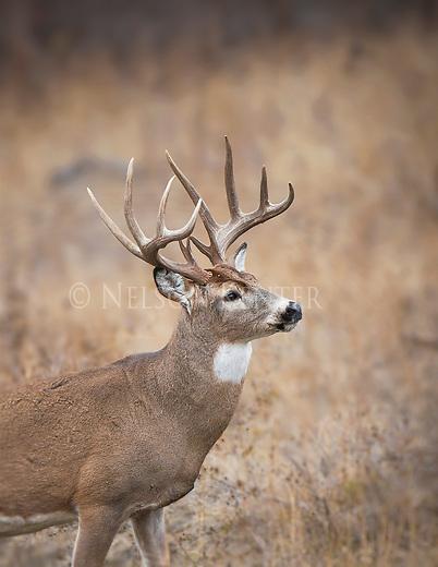 A trophy class whitetail buck in western Montana
