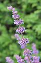 Salvia verticillata 'Purple Rain', early June.