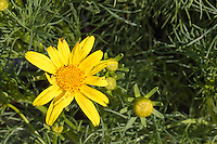 A [Coreopsis gigantea] flower and buds  framed by leaves.  Giant coreopsis is native to coastal California, and lives primarily in dunes.  We planted it on a mound of sand in our yard to help mimic its native environment.