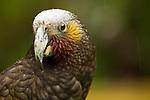 New Zealand Kaka (Nestor meridionalis) parrot during rain storm, North Island, New Zealand