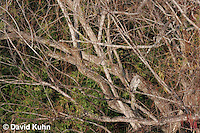 0117-08mm  Camouflaged Juvenile Black-crowned Night Heron in Tree, Resting with Head Tucked In - Nycticorax nycticorax © David Kuhn/Dwight Kuhn Photography