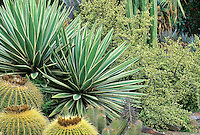 Yucca, Agave, Nolina in Los Angeles garden