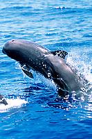 melon-headed whale, Peponocephala electra, Kona Coast, Big Island, Hawaii, USA, Pacific Ocean Ocean