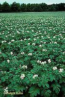 HS05-027c   Potato - field of potato plants in flower