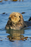 Sea Otter (Enhydra lutris) stretching after napping in kelp.