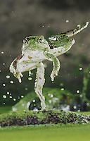 Rio Grande Leopard Frog, Rana berlandieri, adult jumping, Rio Grande Valley, Texas, USA