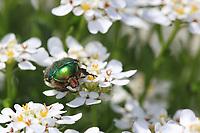 A green rose chafer foraging flower - Cétoine dorée butine une fleur